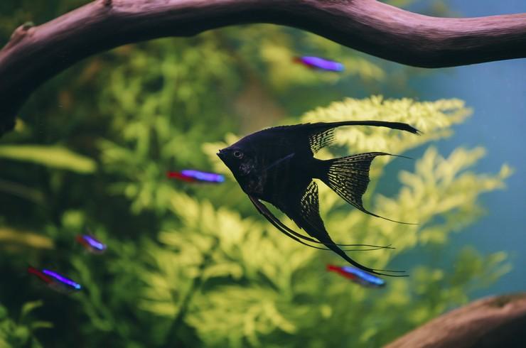 Скалярия черная в аквариуме с неонами