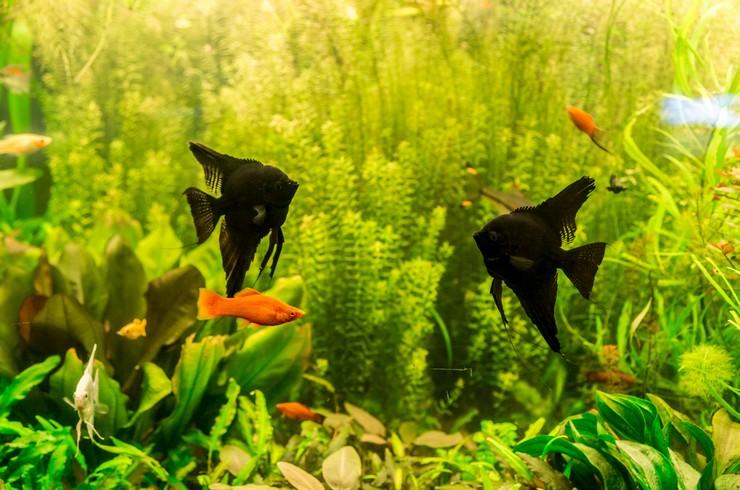 Скалярия черная в аквариуме с живыми растениями