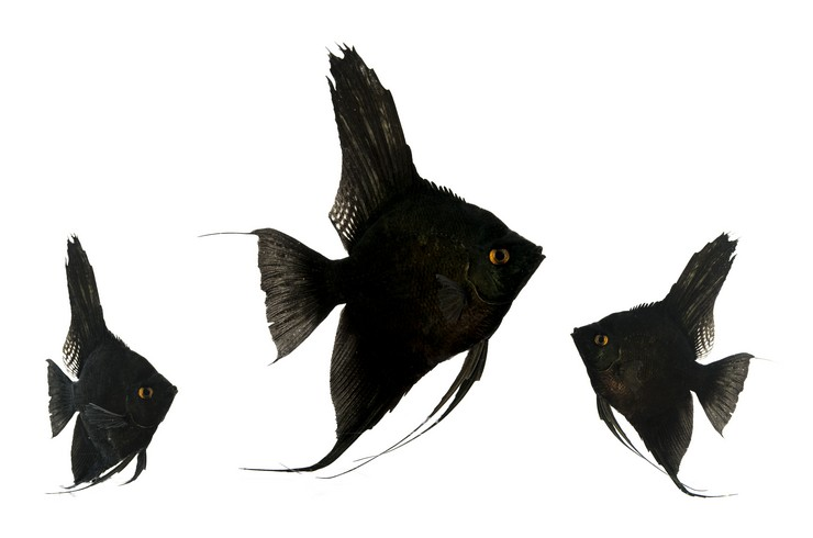 Скалярия черная. Внешний вид
