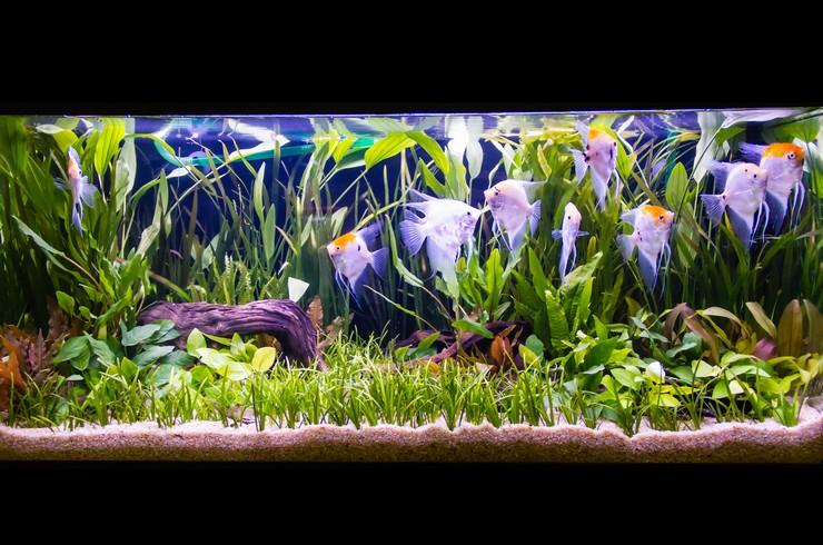Скалярия кои в аквариуме с живыми растениями
