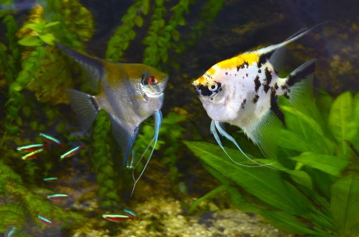 Скалярия кои в общем аквариуме