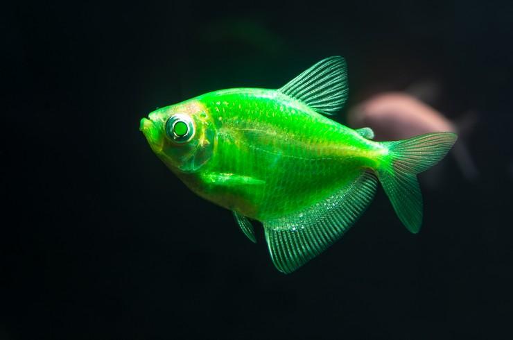 Тернеция GLO под лампой синего спектра «вспыхивает» ярким огнем
