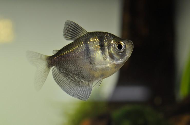 Тернеция неприхотлива к параметрам воды в аквариуме