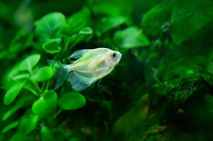 Тернеция в аквариуме с живыми растениями