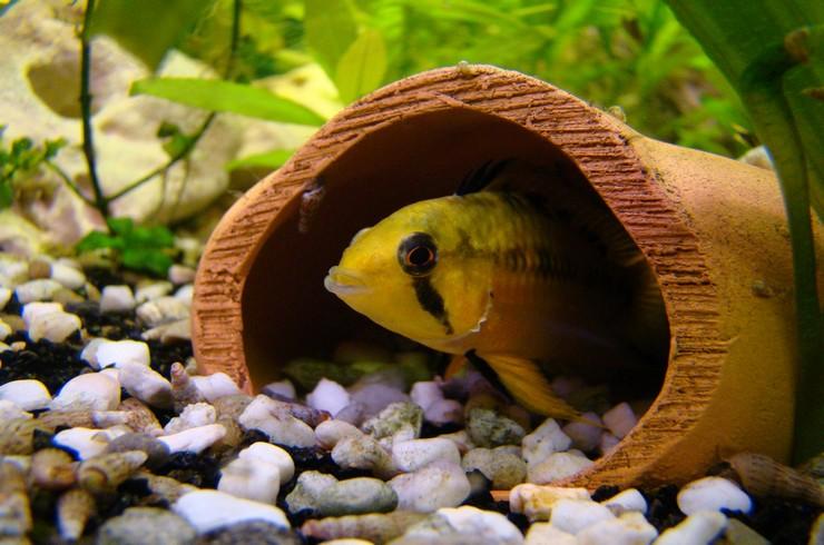 Укрытия – важный элемент в аквариумах для цихлид