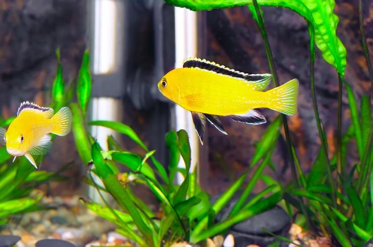 В аквариумах с лабидохромисами Еллоу лучше использовать жестколистные растения