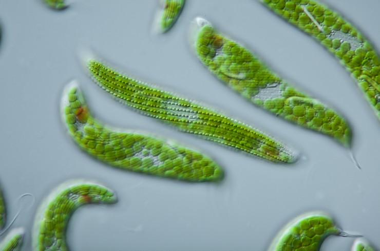 В клетках эвглен находятся зеленые хлоропласты