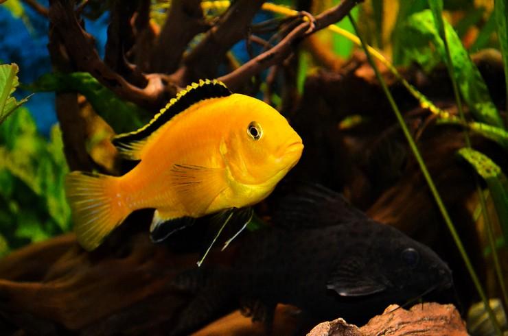 За яркую желтую окраску лабидохромиса называют лимонным