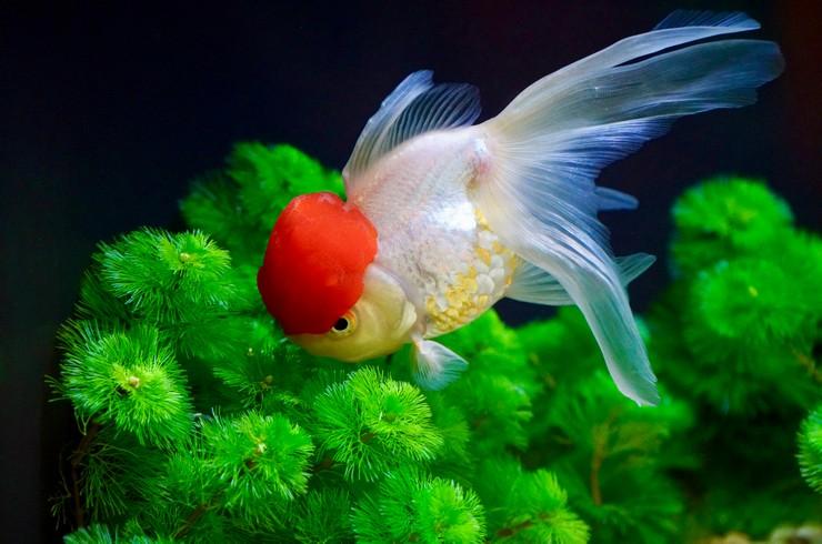 Золотые рыбки не против полакомиться нежными листьями растений