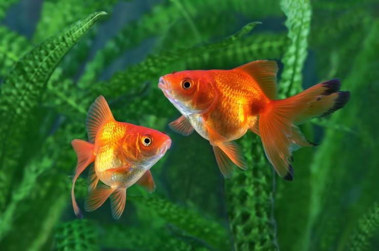 Золотые  рыбки неприхотливы к параметрам воды