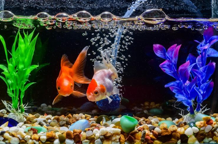 Золотые рыбки нуждаются в хорошо аэрируемой воде