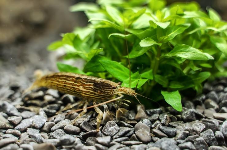 Банановая креветка в аквариуме
