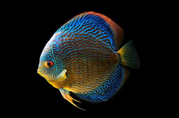 Дискус – король аквариума