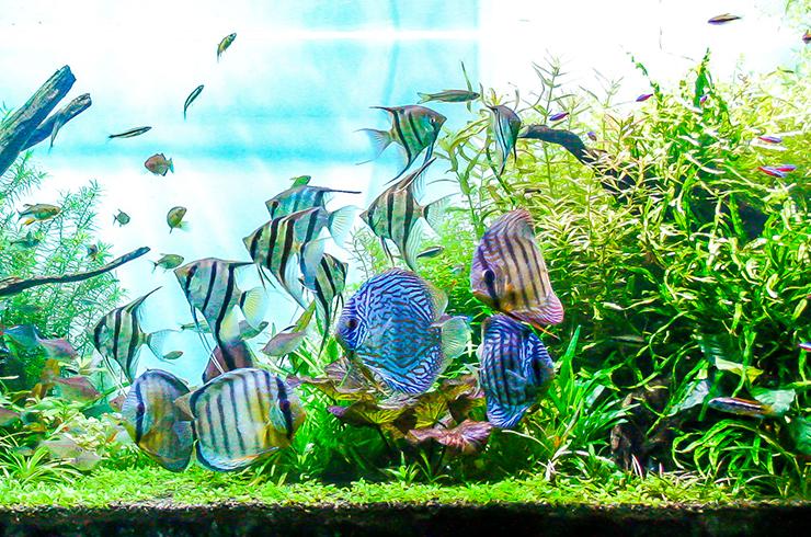Дискусы в аквариуме со скаляриями