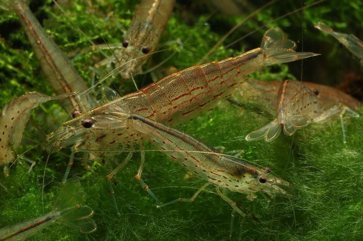 Креветки Амано хорошо поедают нитчатку и другие мягкие водоросли