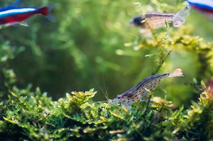 Креветки Амано хорошо уживаются с мирными видами рыб