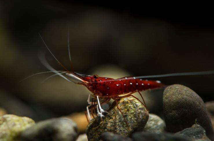 Креветки кардиналы поедают водоросли на камнях