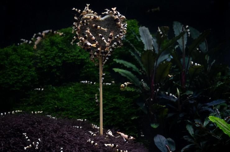 Креветки кристаллы в аквариуме с живыми растениями