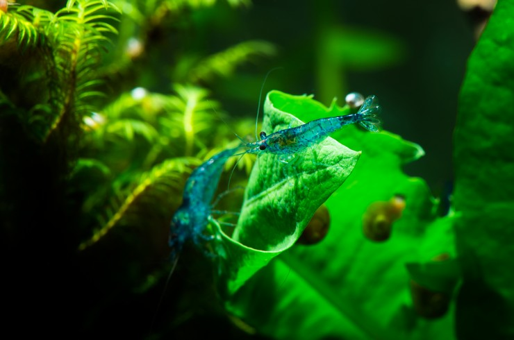 Креветок Блю Дрим лучше всего содержать в видовом аквариуме