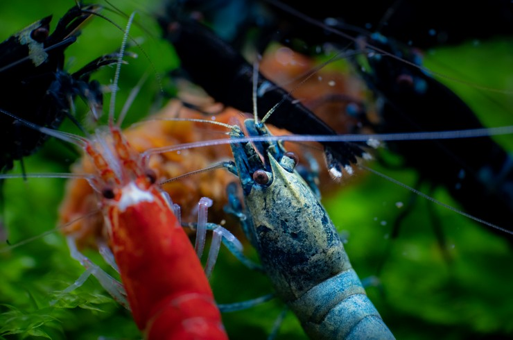 Кристаллы хорошо уживаются с другими креветками