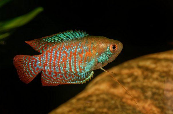 Лялиус – красочная лабиринтовая рыбка