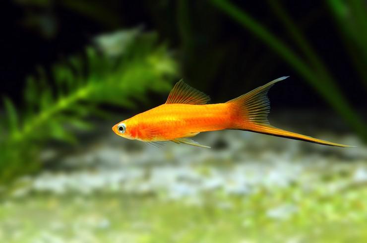 Меченосцы – невероятно выносливые рыбки