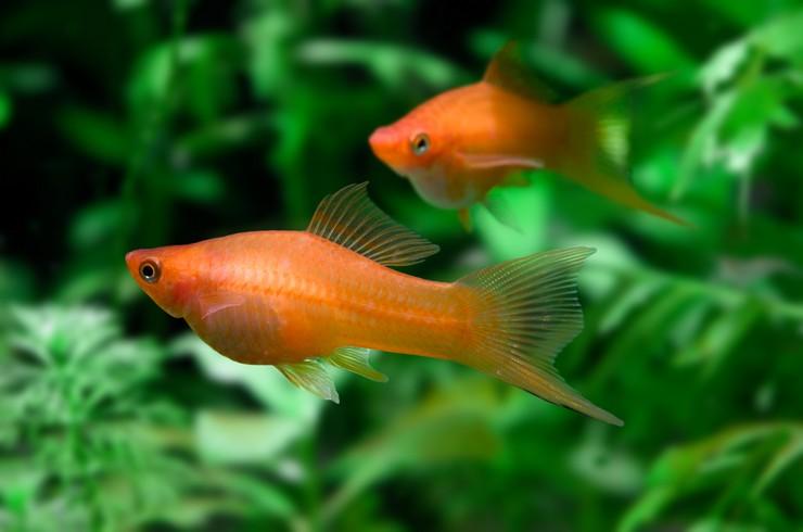 Меченосцы в аквариуме с живыми растениями