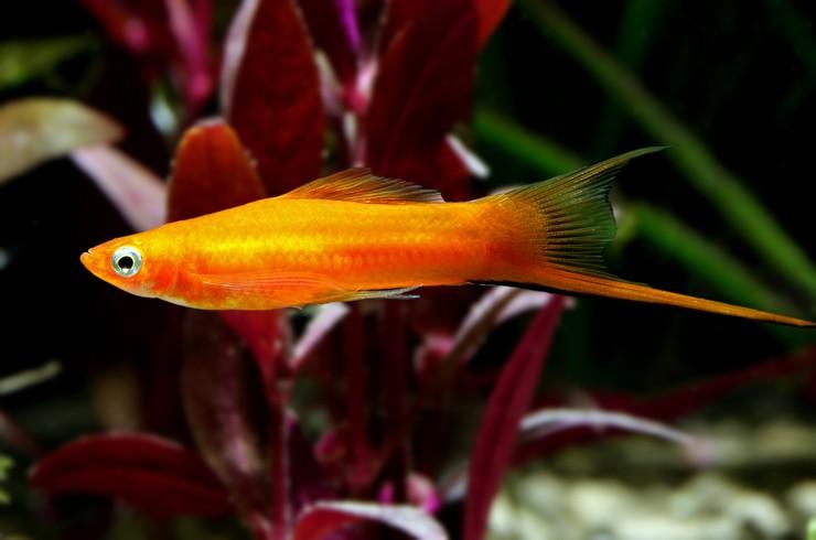 Меченосец – известная живородящая рыбка