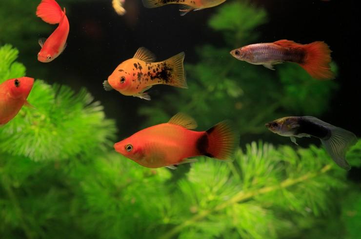 Пецилии в общем аквариуме