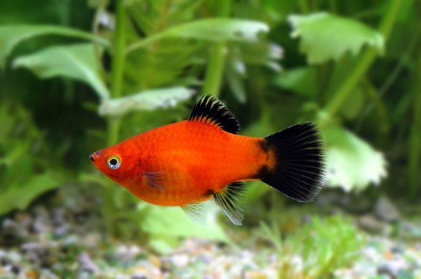 Пецилия – популярная аквариумная рыбка