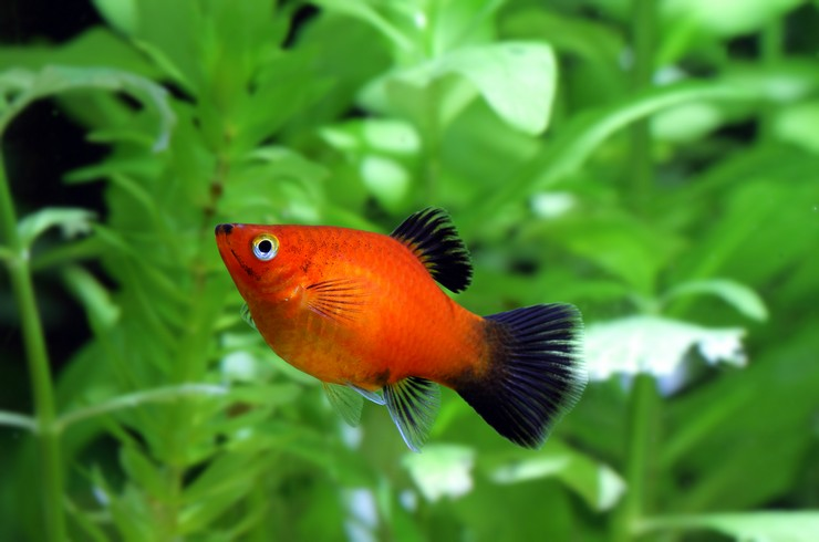 Пецилия в аквариуме с живыми растениями