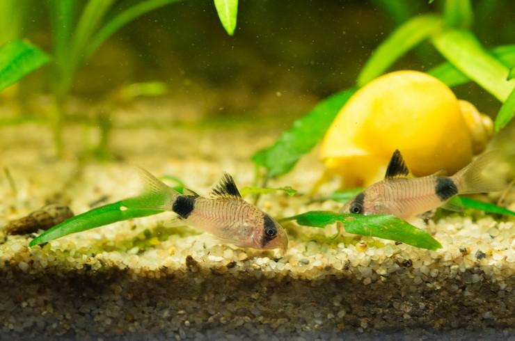 Ампулярии хорошо уживаются с мирными тропическими рыбками