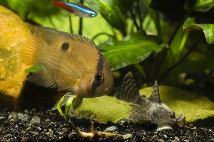 Анциструсы хорошо уживаются со многими видами рыб