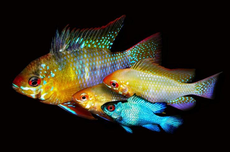 Апистограммы хорошо уживаются друг с другом и другими рыбками