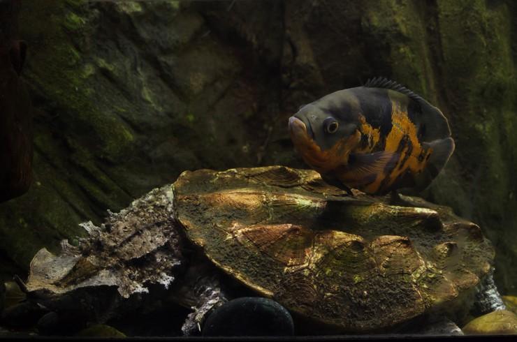 Астронотус – крупная, но неприхотливая в содержании рыба