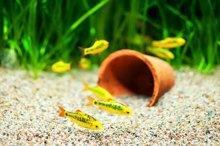 Барбусы хорошо приспосабливаются к различным параметрам воды