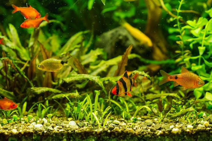 Барбусы хорошо уживаются с мирными соразмерными рыбками