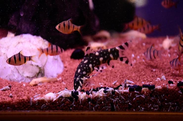 Боция в аквариуме с барбусами