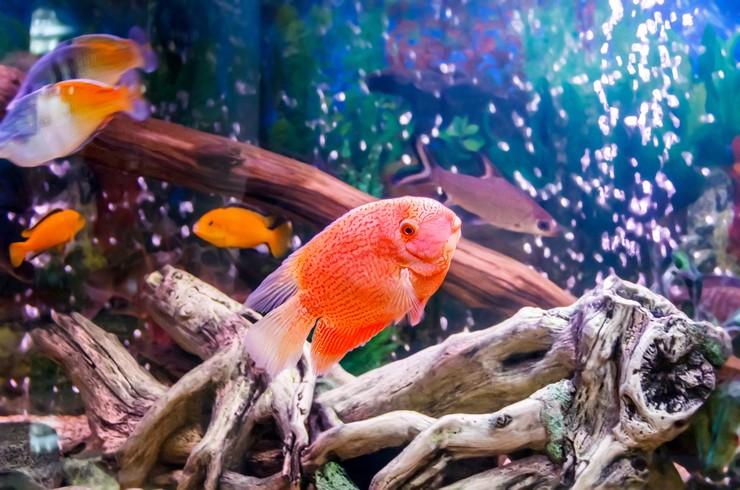 Цихлазома северум в общем аквариуме