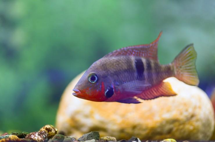 Цихлазомы – выносливые рыбки