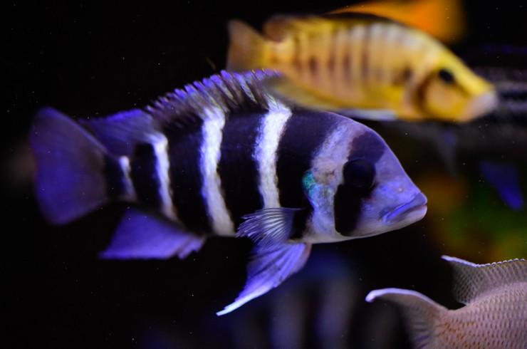 Фронтоза в общем аквариуме