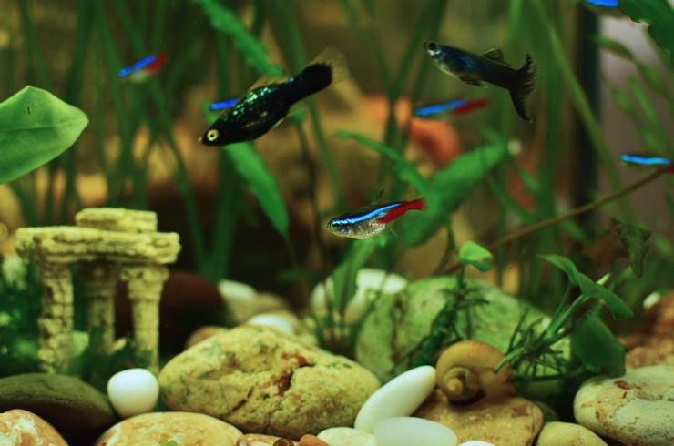 Голубые неоны в общем аквариуме