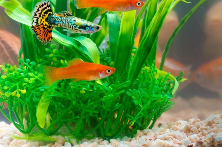 Гуппи хорошо уживаются с другими живородящими рыбками