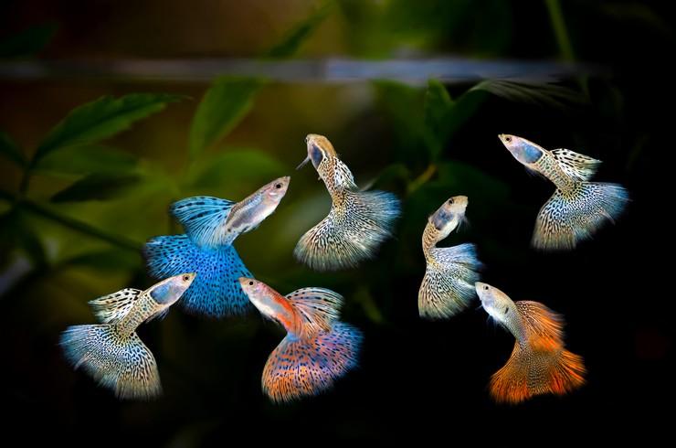Гуппи – красивые и выносливые рыбы