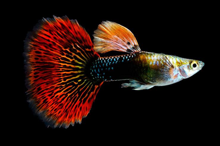 Гуппи – популярная аквариумная рыбка
