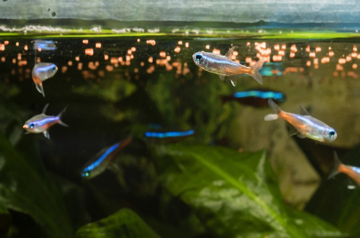 Качественный сухой корм – лучший выбор для голубых неонов