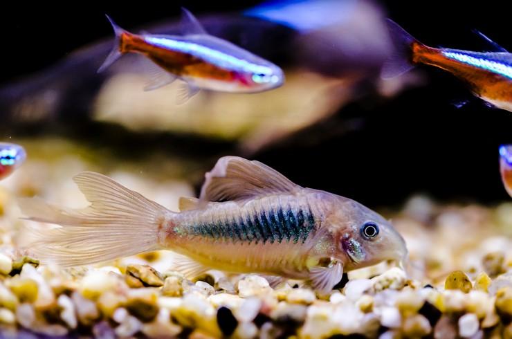 Коридорас в общем аквариуме