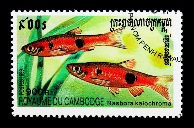 Марка с изображением расборы-клоуна. Камбоджа, 1999 год