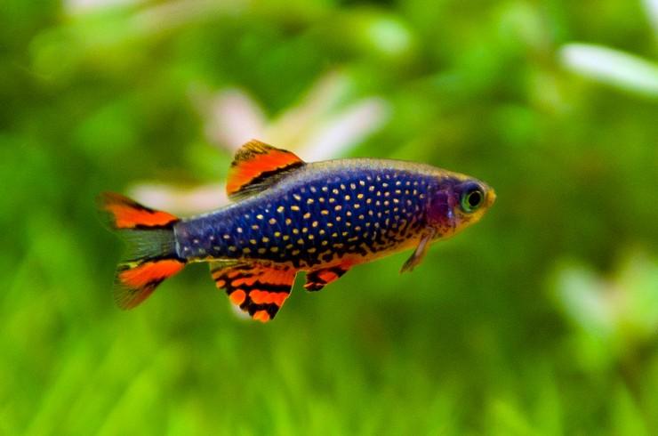Микрорасбора галактика – популярная рыбка для нано-аквариумов