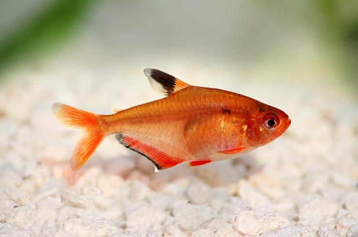 Минор – мирная стайная рыбка